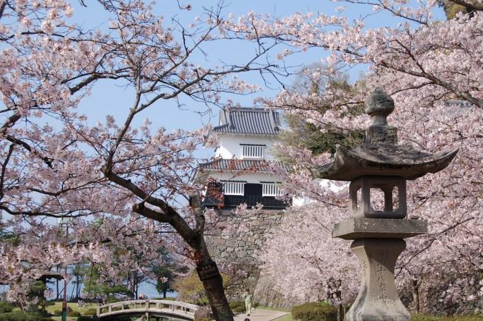 Sakura at Omura Flower Festival, Omura City