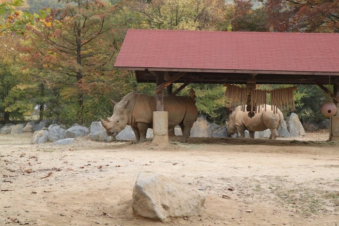 White Rhinoceros in Everland South Korea