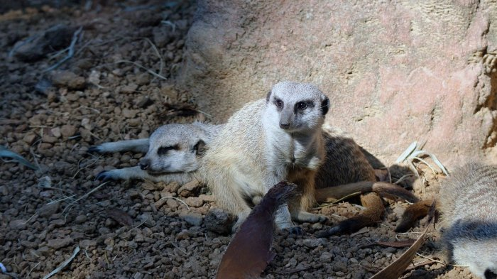 Meerkat at Houston Zoo