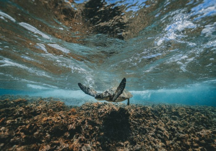 Sea turtle in its natural habitat (Photo by Jakob Owens sourced by Agoda)