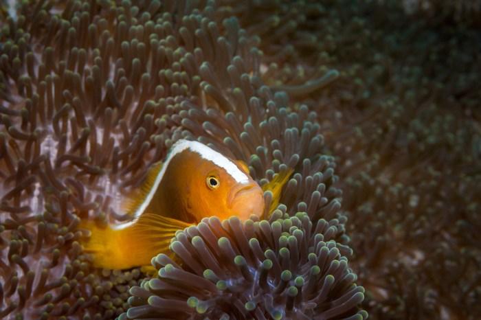 Orange skunk clownfish in Dauin Negros Oriental photo via DepositPhotos.com
