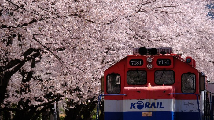 Train and cherry blossom tree in Gyeonghwa station by Heloise Appourchaux via Flickr CC