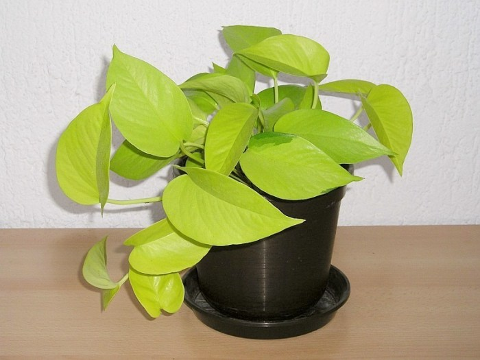 Neon Pothos desk plant by Maja Dumat via Flickr CC