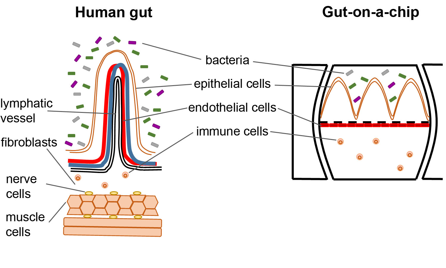 How close does a gut-on-a-chip resemble our gut?