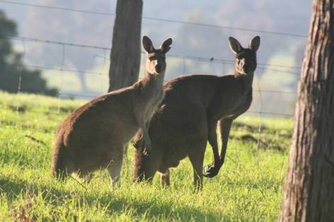 The Kangaroos are curious as to what we're writing.