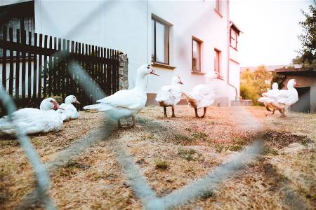 ducks on grass chain link fence