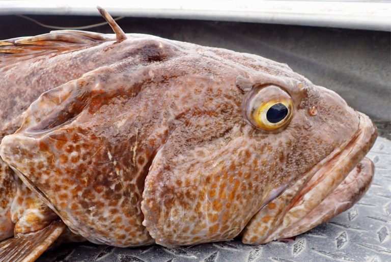 Closeup of lingcod on boat deck