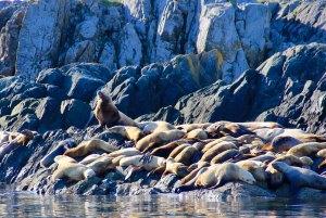 Sea lions on rocks at Mittlenatch Island, BC