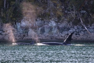 two orca killer whales travelling