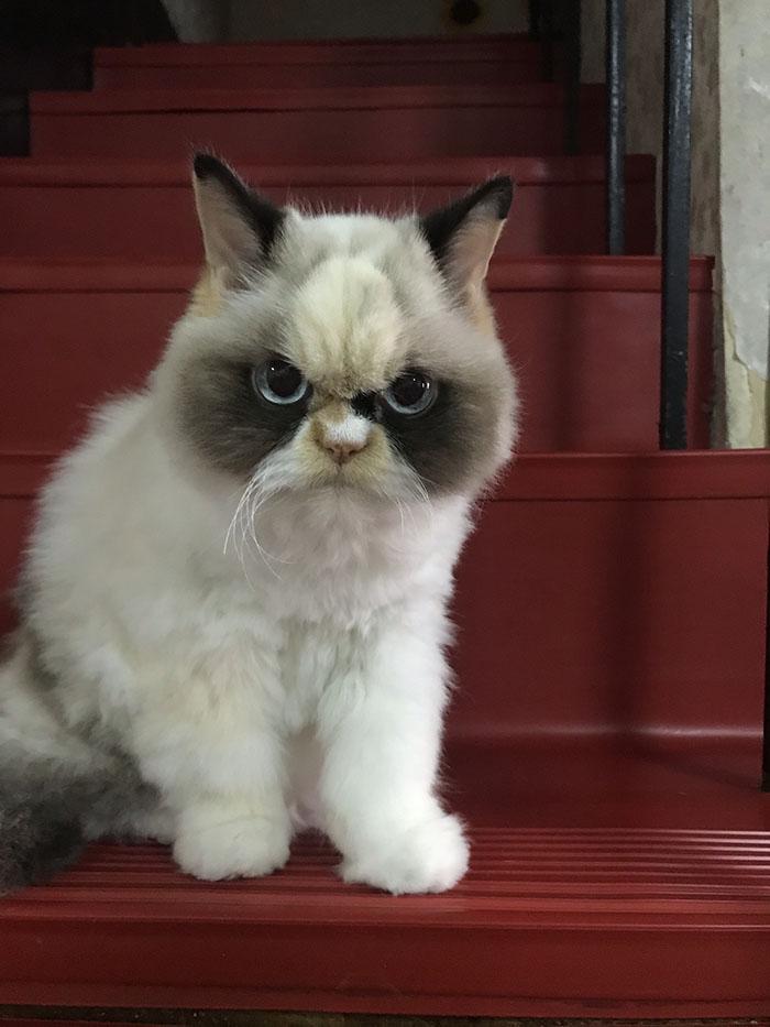 เจ้าเหมียวหน้าบึ้ง ( Grumpy Cat ) ตัวใหม่มาแว้ว 😾🐈✌🏻🤟🏻🙌🏻