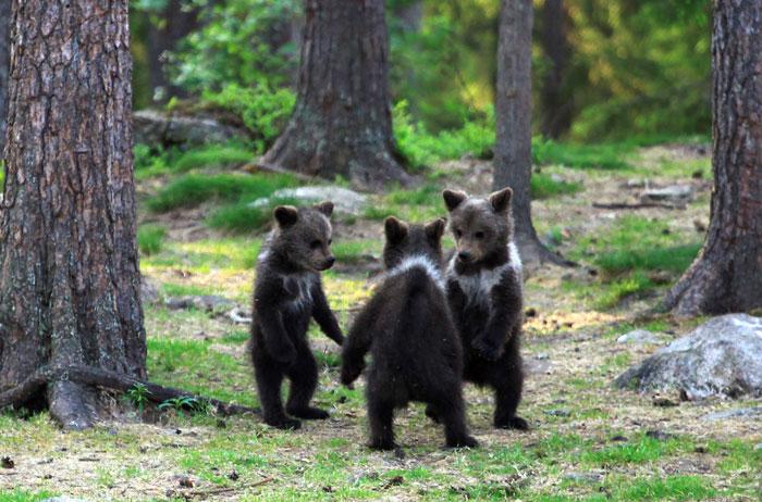 3 ลูกหมีพี่น้องยืน เต้นรำ ในป่าฟินแลนด์ 🐻   👦🏻👧🏻👐🏻🌲🇦🇽
