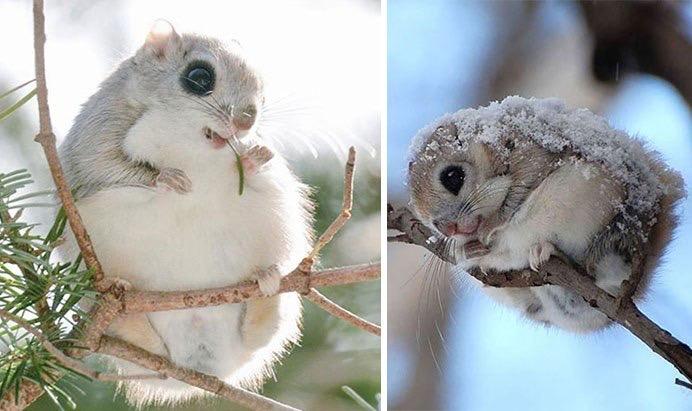 กระรอกบิน ไซบีเรียน หนึ่งในสัตว์ที่น่ารักที่สุดในโลก 🐿🦨🦡