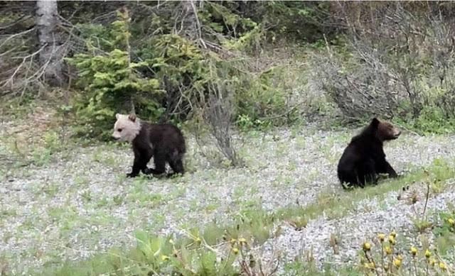 """ลูกหมีกรีซลี่ """" หัวขาว """" น่ารักและไม่เหมือนใคร หายากมากๆ ❗️🐻⚪️😮😲"""