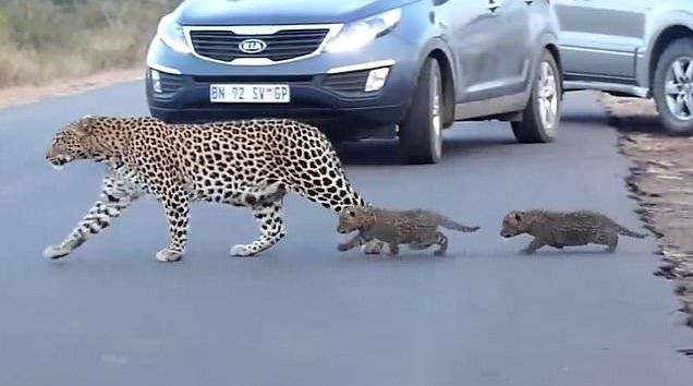 """ยอดคุณแม่เสือดาวเสี่ยงอันตรายพาลูกๆ """" ข้ามถนน """" อย่างปลอดภัย 🐯🐆🛣🛤🤝🤲🏻👌🏻❤️"""