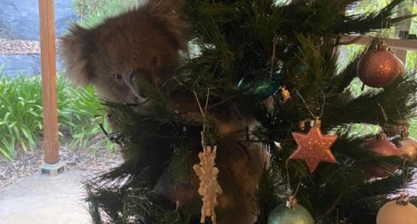 """เมื่อหมี """" โคอาล่า """" แอบเข้ามาเกาะ """" ต้นคริสต์มาส """" ขอเข้ามาร่วมฉลองเทศกาสคริสต์มาสด้วย 🐨🎅🏻🎄🎁🇦🇺"""