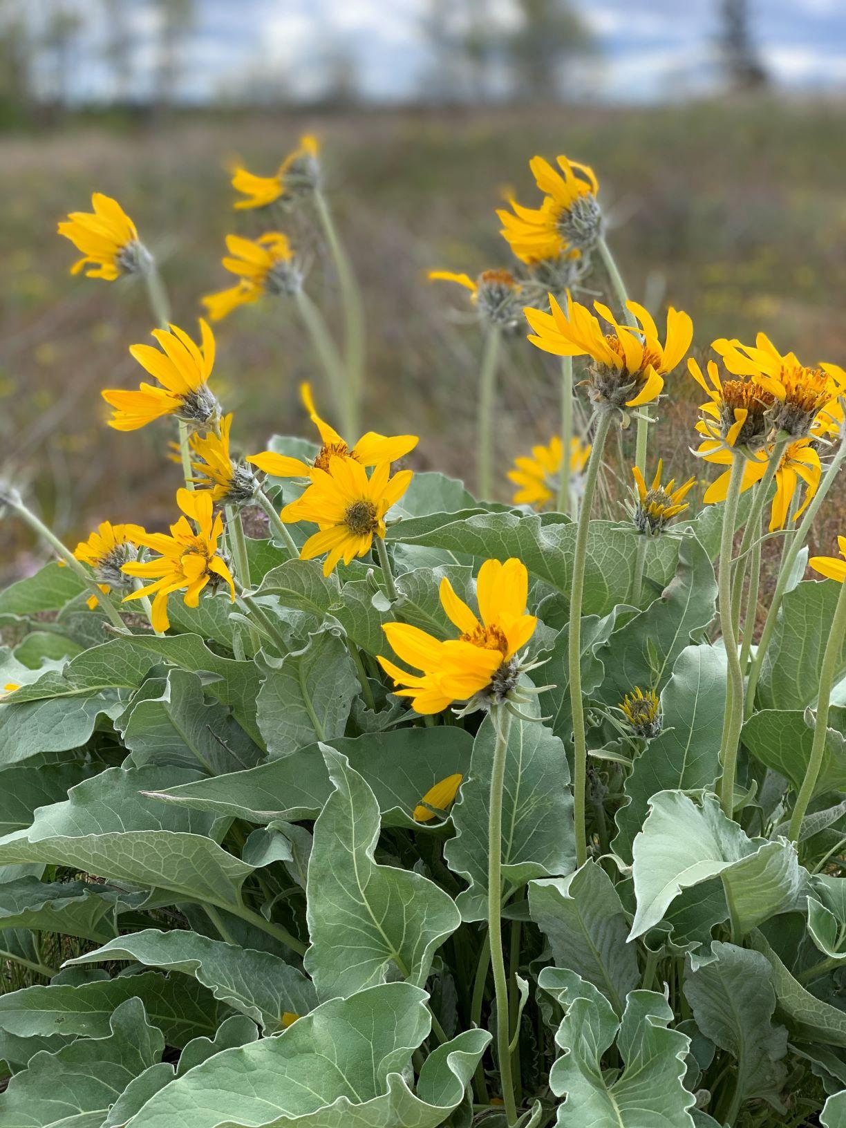 Yellow balsamroot flowers at Riverside State Park.