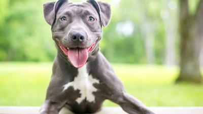 pit bull statistics. A happy blue and white Pit Bull Terrier mixed breed dog