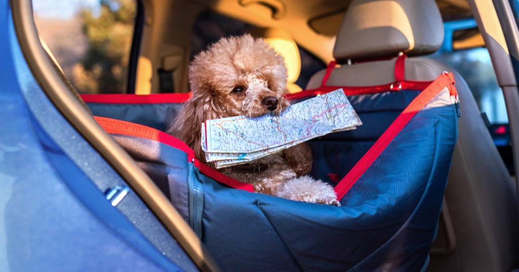 dog in a car holding a map