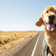 golden in car dog road trip planner