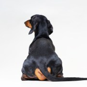a dog from behind, dog farts smell