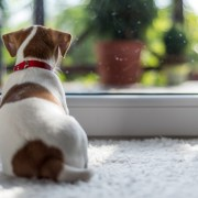 dog staring out door
