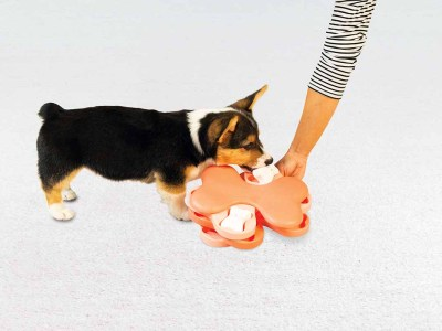corig puppy with the puppy smart dog puzzle