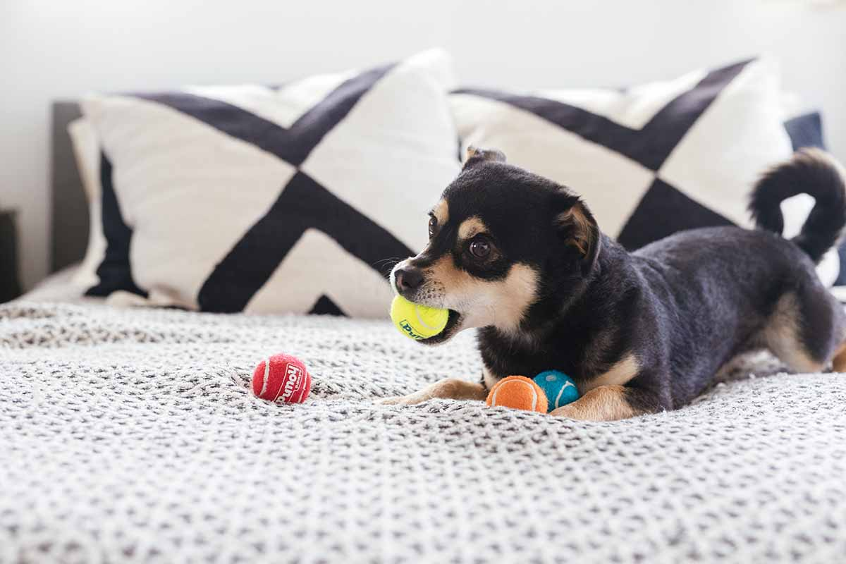 dog on bed with squeaker balls