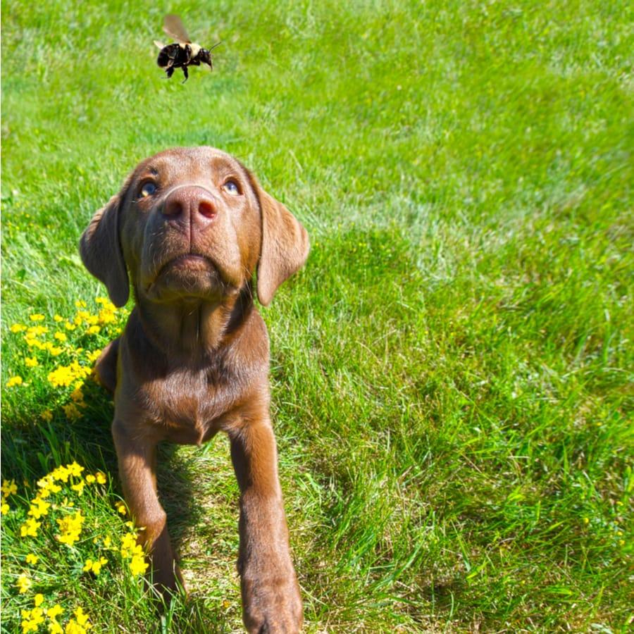 dog chading bee