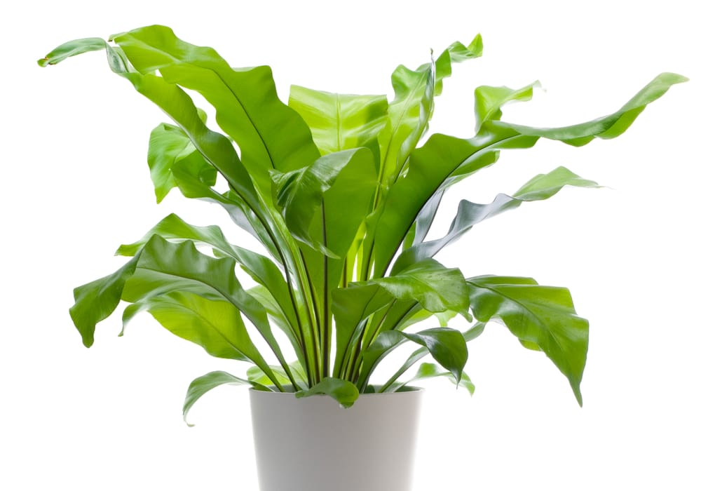 a bird's nest fern is a safe plant for pets