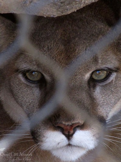 Mountain Lion in Prison