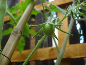 Our first cherry tomato