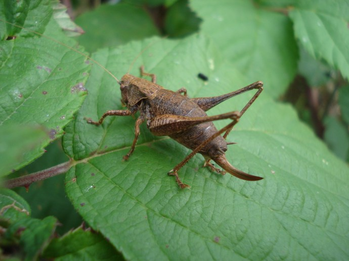 female Bush Cricket