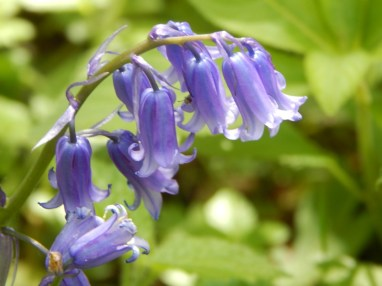 Bluebells at Poleseden Lacey