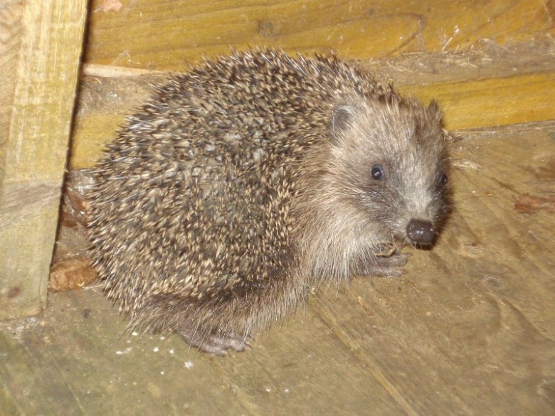Prickles the Hedgehog