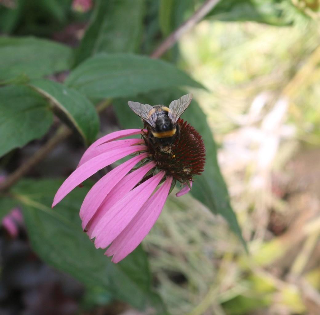 Bee at Work - Silent Sunday My Sunday Photo 040916