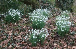 Snowdrop spotting at Evenley Wood Garden