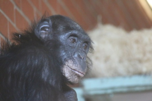 Exploring Chimpanzee Eden and beyond at Twycross Zoo