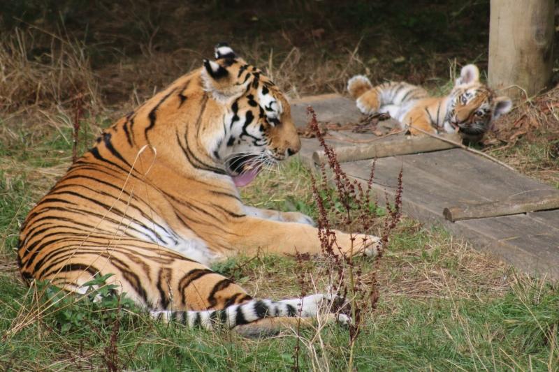 Tiger Cub hunting at ZSL Whipsnade Zoo
