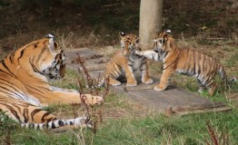 Tiger Cub hunting at ZSL Whipsnade Zoo