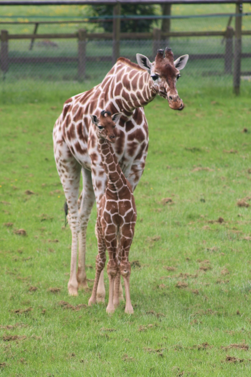 Khari giraffe calf Whipsnade Zoo