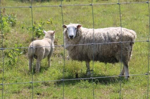 sheep and solar panels