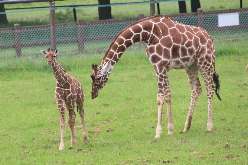 Khari Giraffe and Mum Luna
