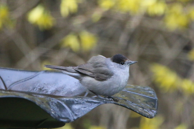 Blackcap on bird table