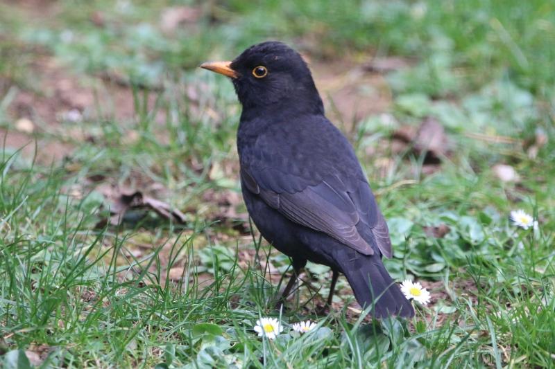 Male Blackbird in garden