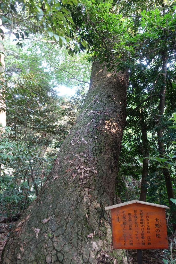白金台自然教育園40 武蔵野植物園 大蛇の松