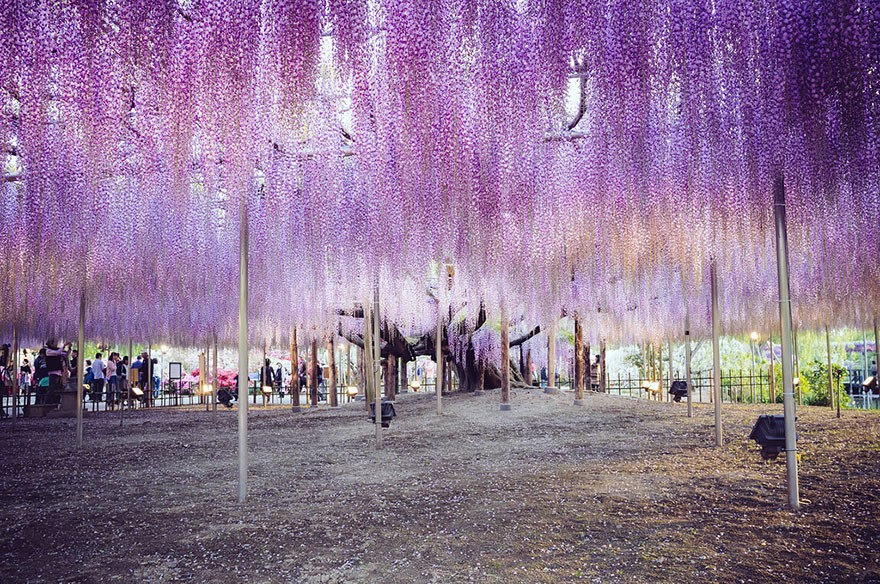 oldest-wisteria-tree-ashikaga-japan-5
