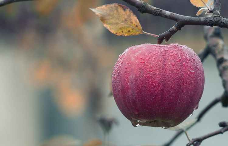 Picture of the Apple