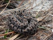 Pigmy Rattlesnake