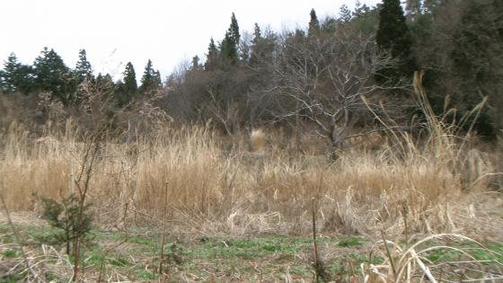 Abandoned farmland with invasive pampas grasses in Shikoku