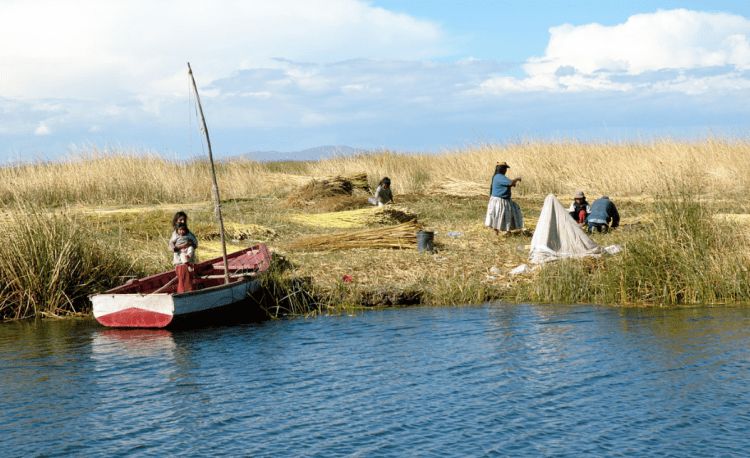 Uros harvesting totora on Lake Titicaca